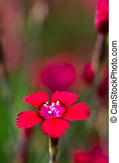 Red bloom of small carnation flower among other flowers
