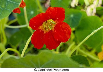 Red Bloomed Nasturtium in rustic Garden