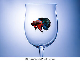 Red Blue halfmoon fighting fish in wine glass