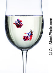 Red Blue halfmoon fighting fishs in wine glass