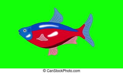 Red-blue striped Aquarium Fish Chroma Key looped - Big...