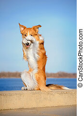 red Border Collie dog in trick - red Border Collie dog does...