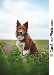 Red border collie dog sitting in a meadow