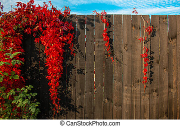 Red Boston ivy on the background of a brown wooden fence