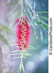 Red bottle-brush tree (Callistemon) flower