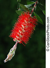 Red bottle-brush tree (Callistemon)