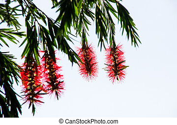 Red bottle brush tree flower