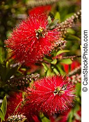 Red Bottlebrush