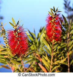 Bottlebrush Callistemon