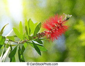 Red Bottlebrush flower ( Callistemon citrinus ) on green ...