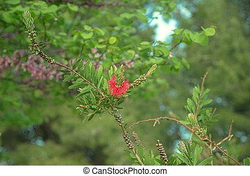 Red bottlebrush flower (Callistemon citrinus) - One red ...
