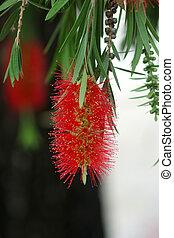 red bottlebrush flower in bloom