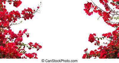 Red Bougainvillea flower on white background.