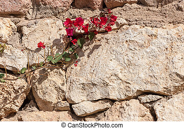 Red bougainvillea, Sharm el Sheikh, Egypt. - Beauty red...