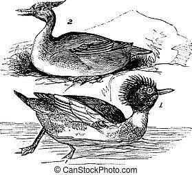 Red-breasted Merganser (Mergus serrator) 1. male 2. female vintage engraving