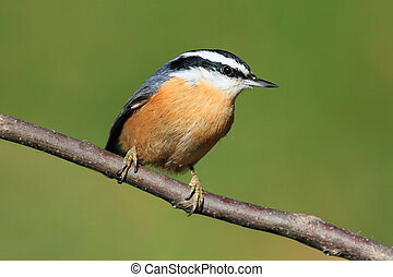 Red-breasted Nuthatch On A Perch - Red-breasted Nuthatch (...