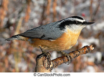 Red-breasted Nuthatch (Sitta canadensis) at Fish Creek Park, Calgary, Alberta, Canada.