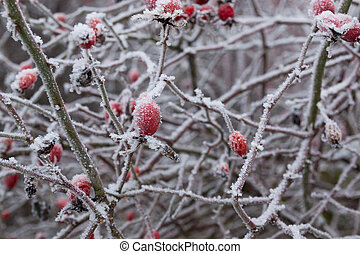 Red briar berry in snow, winter background
