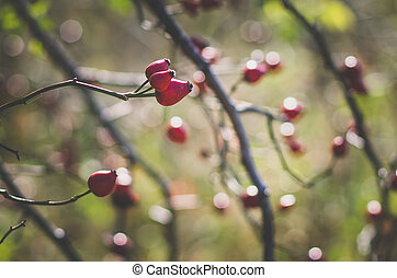 red briar fruit in autumnal time