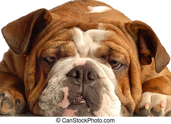 red brindle english bulldog