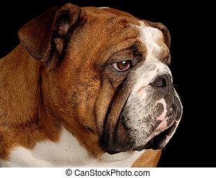 red brindle english bulldog portrait on black background