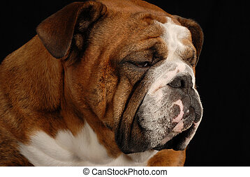 red brindle english bulldog with sad looking expression on black background