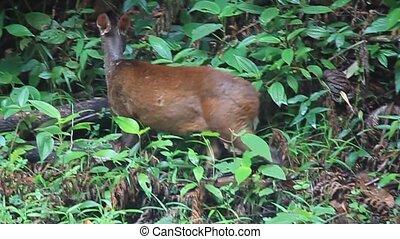 Red Brocket Deer in Cockscomb Basin Wildlife Sanctuary,...
