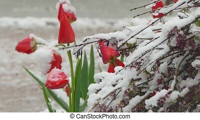 Red buds covered with snow - Red buds of tulip flowers are...