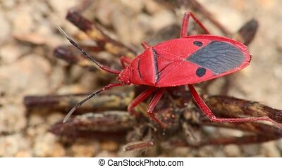 Red Bug Fire Bug Insect Macro Close Up Detail - Man faced...