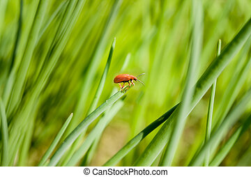 Red bug in grass