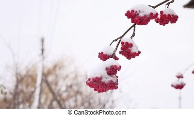 red bunches branch of rowan covered winter with the first...