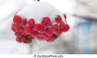 red bunches branch of rowan covered with the first snow...