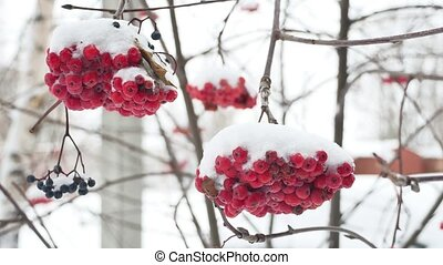 red bunches branch of rowan covered with the first winter...