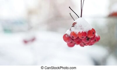 red bunches branch of rowan covered with winter the first...