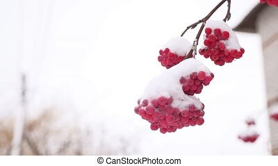 red bunches branch of rowan winter covered with the first...