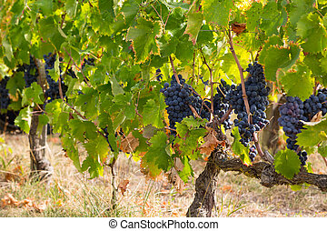 Red bunches of grapes in the vineyard