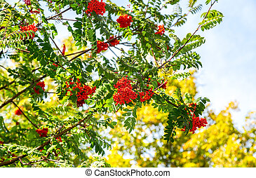 Red bunches of rowan against the blue sky