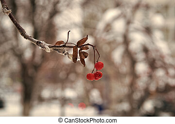 Red bunches of rowan covered with the first snow. Winter background. Winter landscape with snow-covered bright red rowan. Rowanberry branch. Berries of red mountain ash in snow. winter red berries