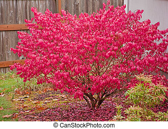 This large red burning bush is aflame in its glory with bright red autumn foliage.