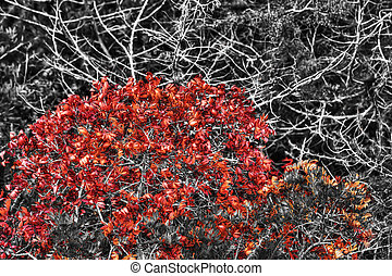 red bushes in selective desaturation effect - red bushes in...