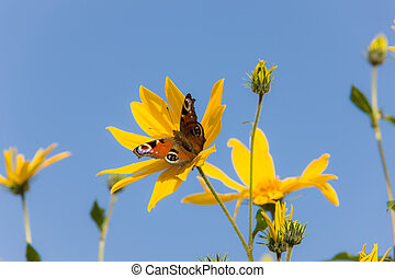 red butterfly on yellow flowers