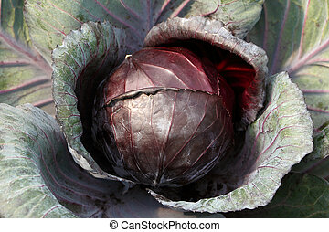 Red cabbage background - Red cabbage/ purple cabbage/ red ...