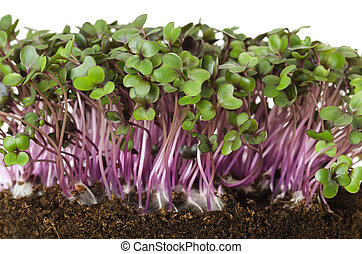 Red cabbage fresh sprouts front view - Red cabbage, fresh ...