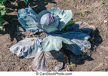 Red Cabbage growing in the ground