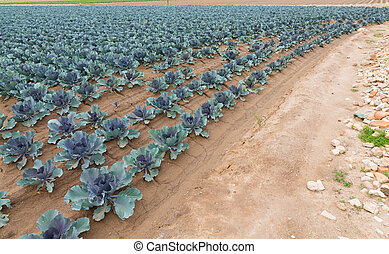 Red cabbage plantation