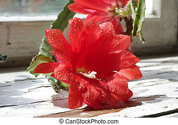 Red cactus flower with water drops