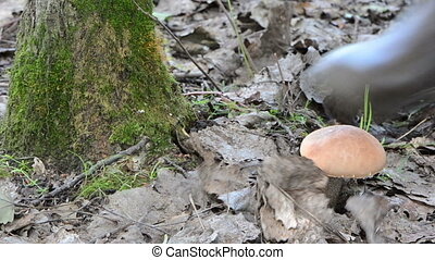 red cap mushroom moss - man in rubber boots hand pick up...