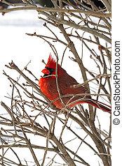 Red Cardinal After Snowstorm