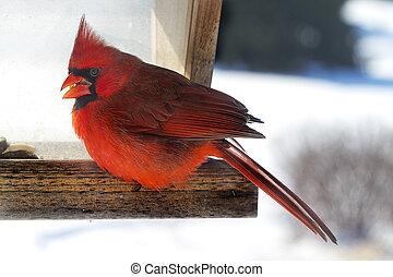 Red Cardinal at Bird Feeder