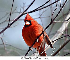 Red Cardinal - Beautiful red Cardinal in a tree.